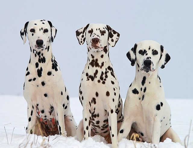 dalmatians in the fire service